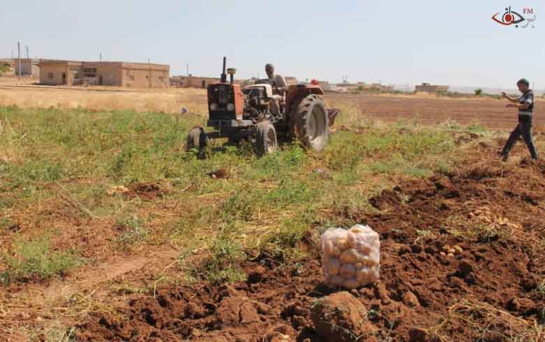 لأول مرة بدء موسم حصاد البطاطا في كوباني
